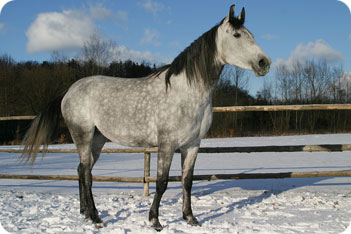 Anglo Arabian Horse